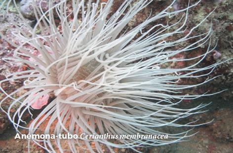 Cerianthus membranacea