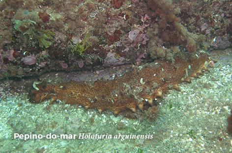 Holoturia arguinensis