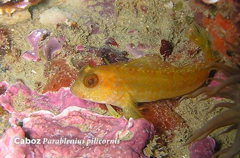 Parablenius pilicornis