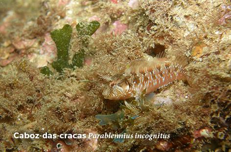 Parablennius incognitus